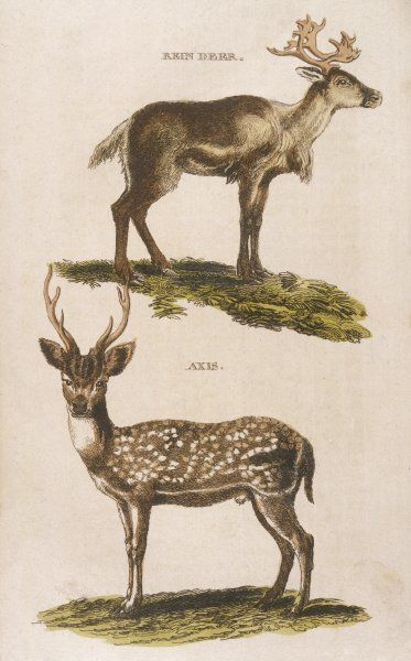 Reindeer (top) Axis deer (bottom)