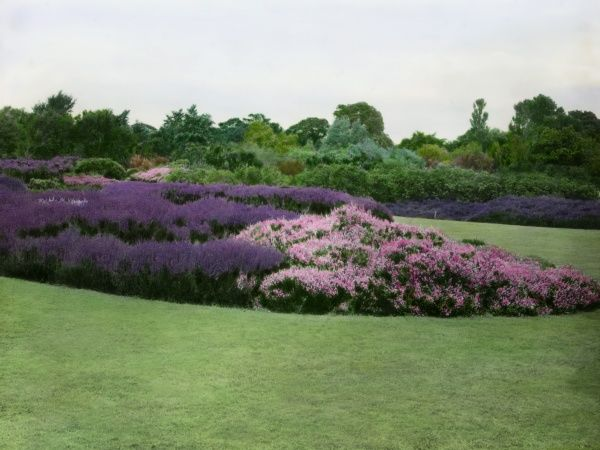 Part of the Royal Horticultural Society's garden at Wisley, Woking, Surrey, showing pink and purple Erica (heather, of the Ericaceae family) in the middle of a large lawn