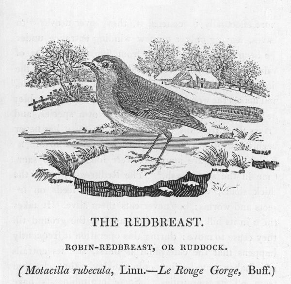 The Rrobin-redbreast, or Ruddock Motacilla rubecula