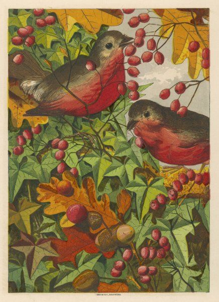 Two robins among berries, (Erithacus rubecula)