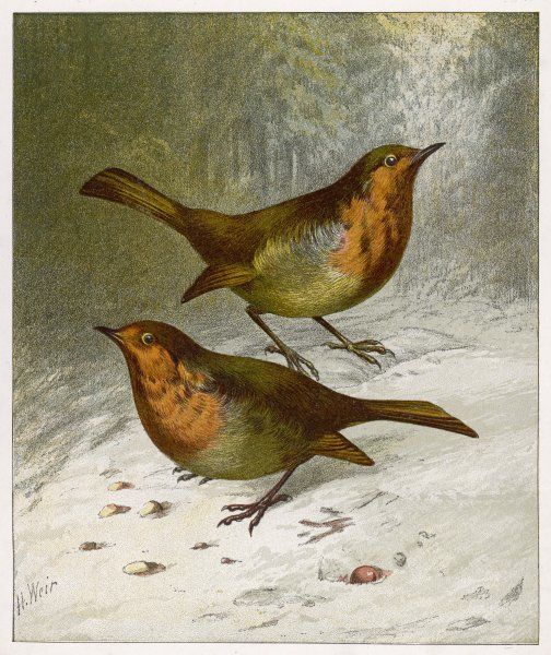 Two Robins in winter. (Erithacus rubecula)