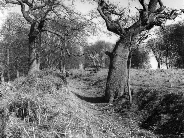 The outer ditch of the old encampment, said to be of Roman origin, on Badby Down, near Badby, Northamptonshire, England. Date: 1960s