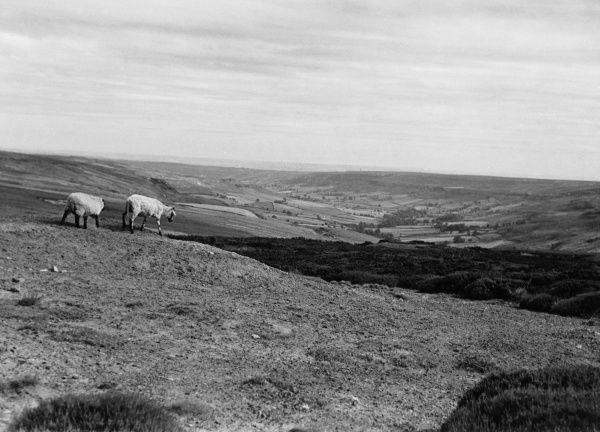 Rose Dale, on the Yorkshire Moors, with a couple of sheep. Date: 1952
