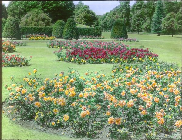 A rose garden at Kew Gardens, West London, with trees and shrubs in the background