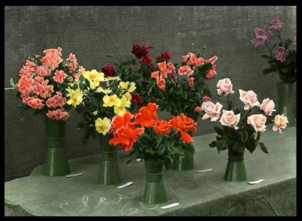 An array of roses (Rosaceae family) of different colours, yellow, pink, orange and red, arranged in vases, set out on a table