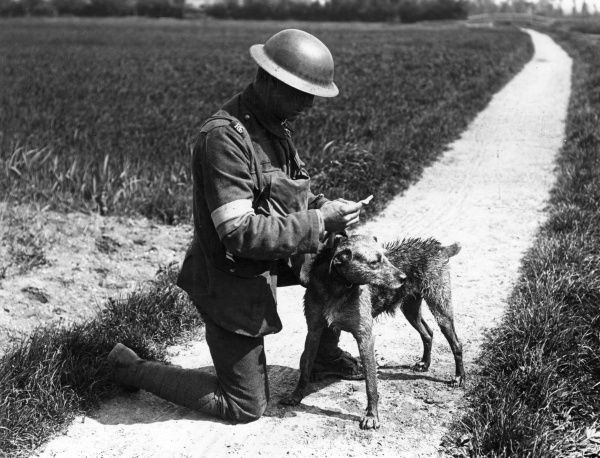 A Royal Engineer reading a message brought by a messenger dog by swimming a canal, near Nieppe Wood, northern France,during the First World War. Date: 1914-1918