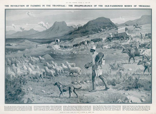 A country scene in South Africa - Boer wagons travel on the road while native herdsmen drive sheep and cattle across the veldt