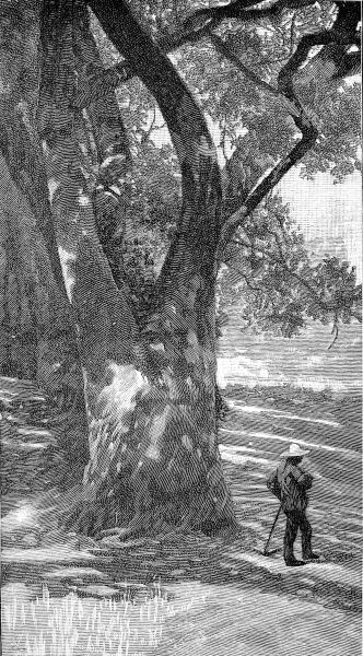 Illustration showing a large tree providing dappled shade for man enjoying stroll, Southern California, 1888