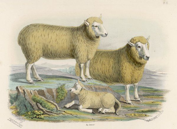 Ryeland sheep : ram and ewe bred by Mr Tomkins of Kingspion, Herefordshire