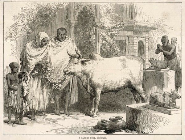 A sacred bull in Benares, India, eats a leafy offering. In the Hindu religion, all cattle are sacred