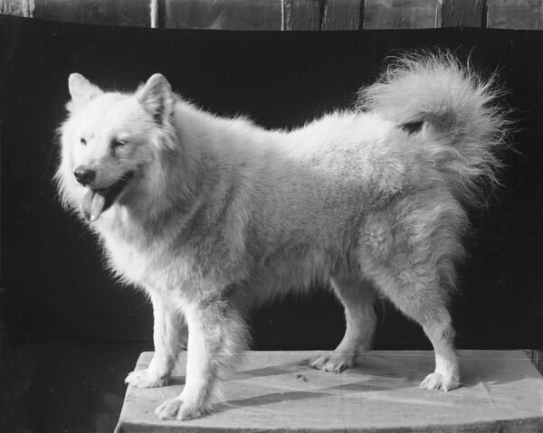 A Samoyed dog standing on a plinth