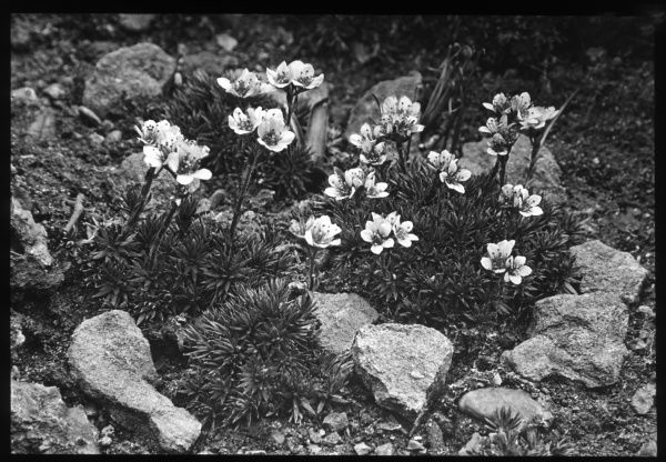 Saxifraga Elizabethe, a flowering plant of the Saxifragaceae family (commonly known as saxifrages or stone breakers because of their ability to grow in the cracks between rocks). Seen here growing in a rocky setting