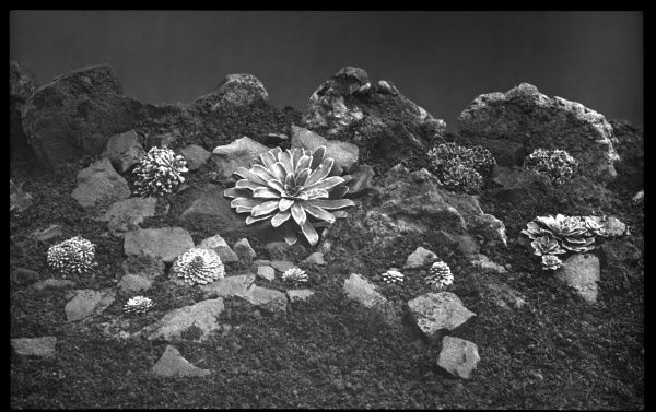 Varieties of Saxifraga, of the Saxifragaceae family (commonly known as saxifrages or stone breakers because of their ability to grow in the cracks between rocks). Seen here growing in a rocky setting, encrusted with frost