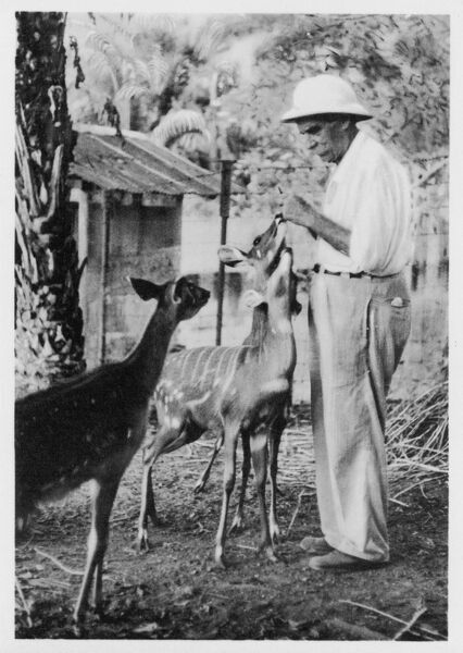 ALBERT SCHWEITZER French theologian, philosopher, missionary physician and music scholar with his antelopes at Lambarene, Africa Date: 1875 - 1965