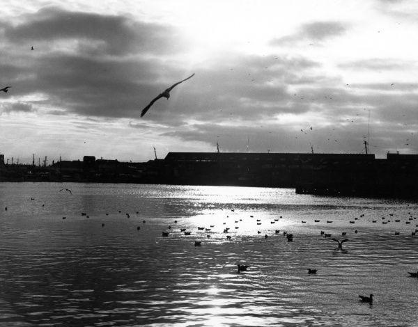 Seagulls congregate at the docks. Date: late 1960s