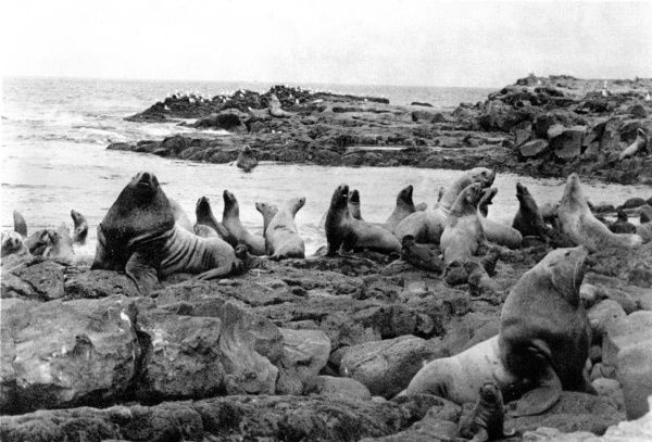 Sea lion bulls with their harems of females and pups. Date: 1930s