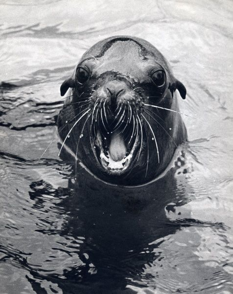 A seal in water with its mouth open, probably at a zoo