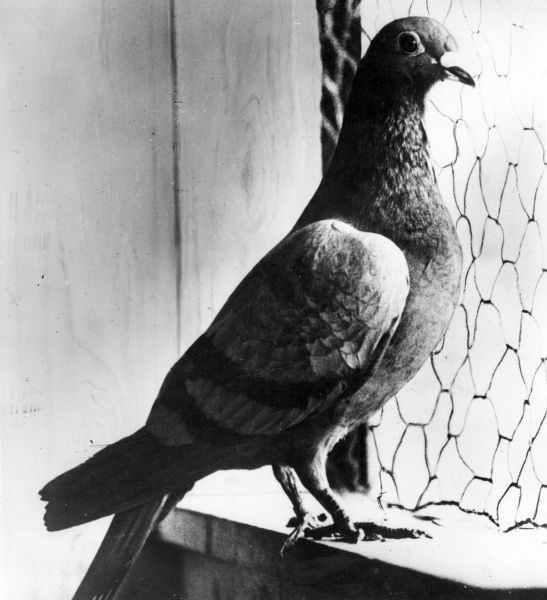 A carrier pigeon housed on board a seaplane for the delivery of messages during the First World War. This particular bird delivered a message (no. 27558) taking five hours to complete a 200 mile journey. Date: 1914-1918