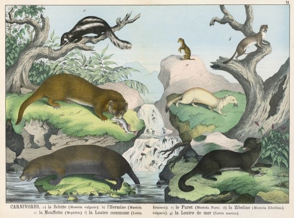 Seven types of carnivore: Weasel, Ermine, Ferret, Sable, Striped Skunk, Otter, and Marine Otter