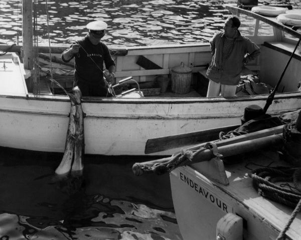 Shark fishing boats in the harbour at Looe, Cornwall, England. Date: 1960s