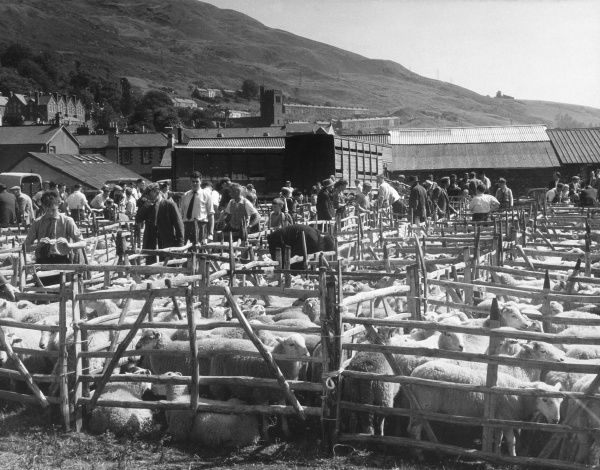Sheep auction, Lake District Date: 1959