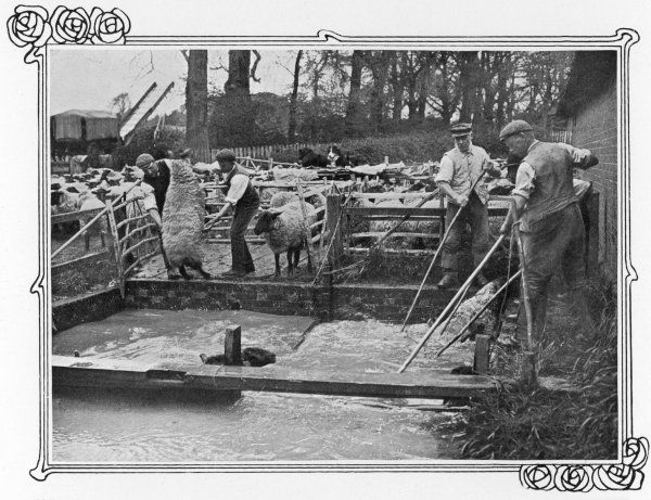 Sheep dipping on a British farm, done to protect the sheep from parasites