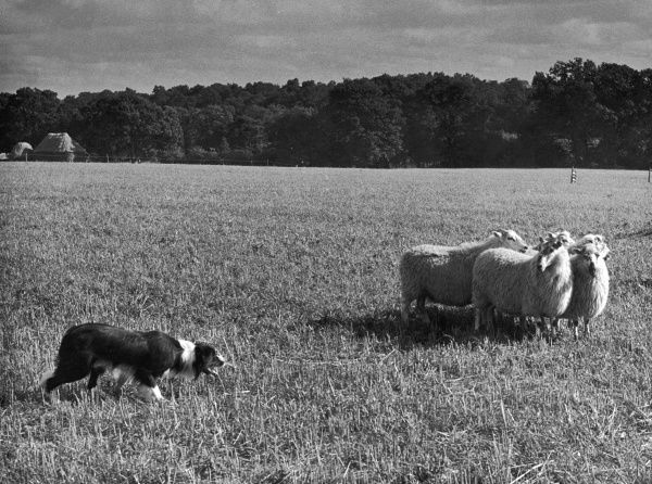 Sheep dog trials, Kent