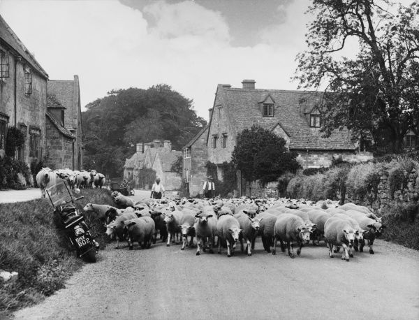 Sheep on their way to market passing through the picturesque village of Stanton, Gloucestershire. You can see the photographer's motorbike in the corner