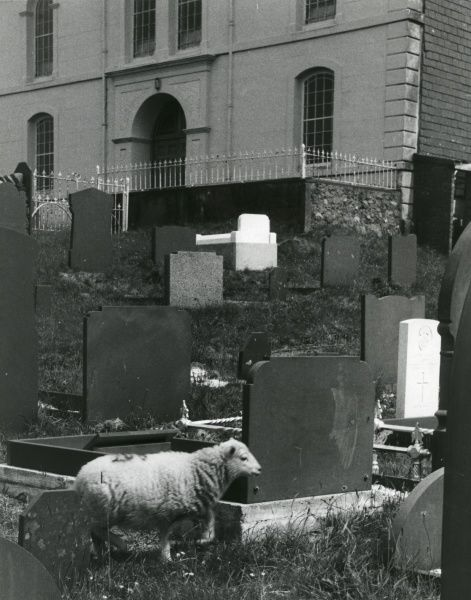 A sheep in a graveyard, helping to keep the grass down, in the village of Talysarn, Nantlle Valley, Caernarvonshire (now Gwynedd), North Wales