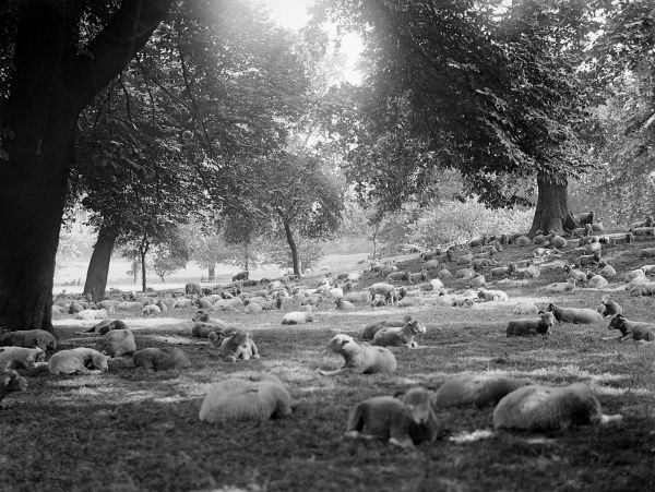 A pastoral scene, not usually seen in London - Scottish sheep grazing in Hyde Park! Date: early 1930s