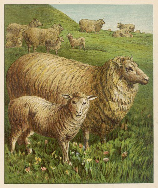 Sheep and lambs in a meadow