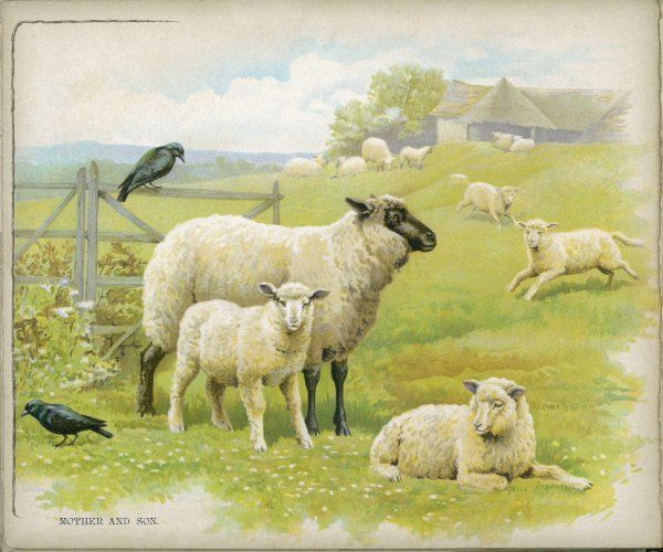 Sheep, lambs, and a couple of crows