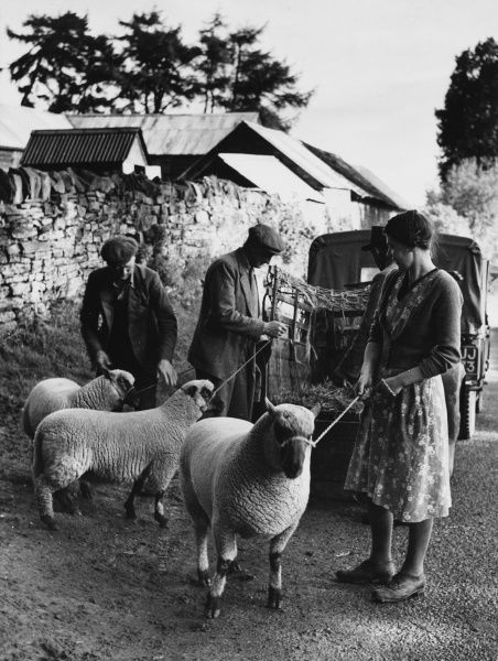 Sheep on rope leads being led to a truck to be transported to a livestock market near Clun, Shropshire, England