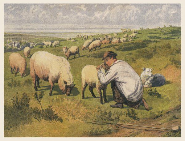 A shepherd in a meadow with his dog and his sheep