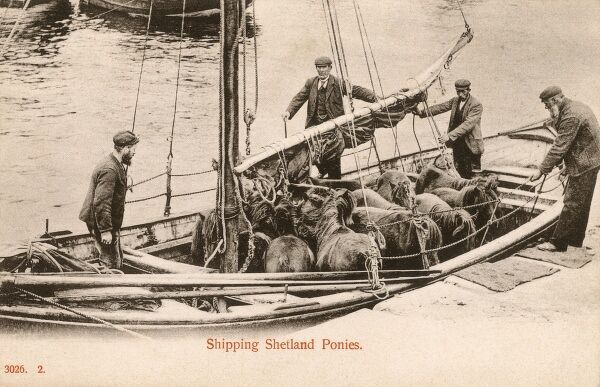 Transporting a small herd of Shetland Ponies in a modest-sized sailing boat. Date: circa 1906