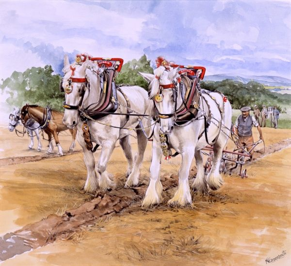 A team of white Shire horses competing in a ploughing match. Painting by Malcolm Greensmith