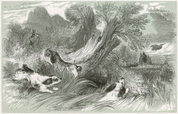 WOODCOCK - A man with three dogs to help him fires at a woodcock as it makes a rapid getaway