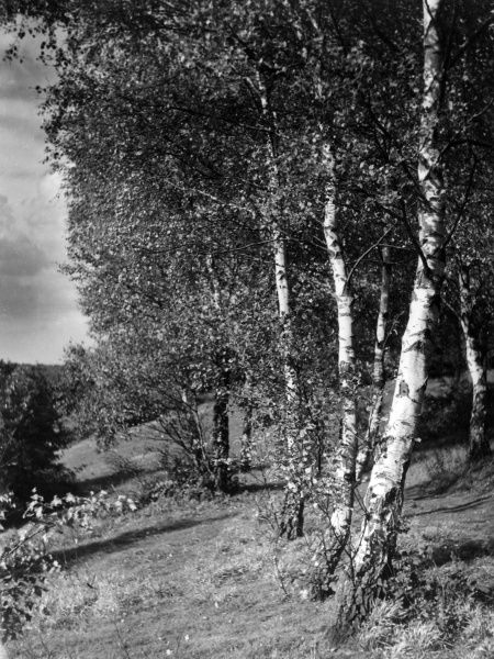 Silver Birches on the slopes Box Hill, Surrey, England. Date: 1950s