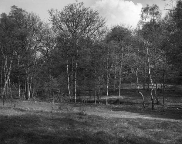 Silver birches in Whippendell Wood, Watford, Hertfordshire, England. Date: 1930s