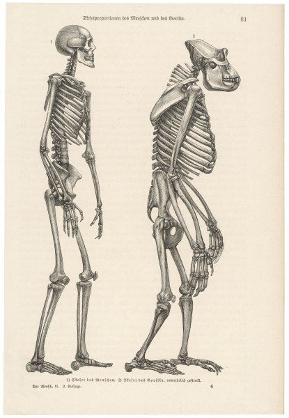 A human skeleton compared with that of a gorilla