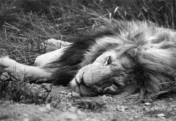 A lion sleeping on his side, South Africa. Date: 1960s