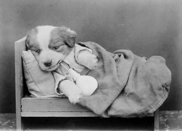 A sleepy puppy in bed. Date: early 1930s