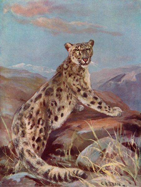 A snow leopard, or ounce, in a mountainous region. (Uncia uncia)