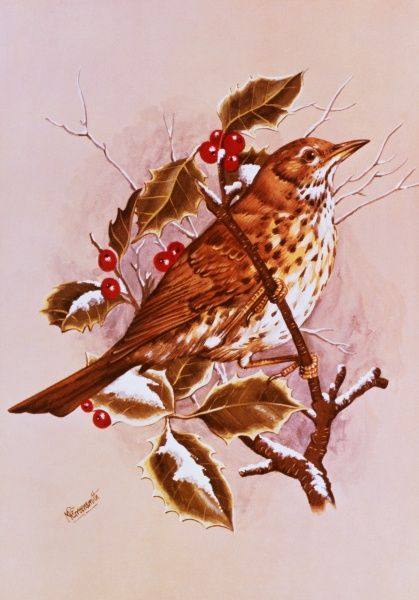 A Song Thrush (Turdus philomelos) amid the Holly. Painting by Malcolm Greensmith