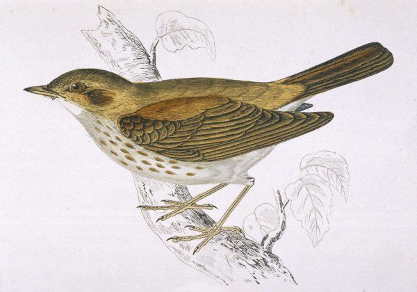 SONG THRUSH (Turdus musicus) Morris names this the 'Nightingale thrush' doubtless in tribute to its musical proficiency
