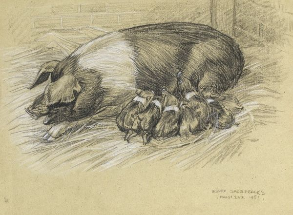 An Essex saddleback sow with her piglets suckling