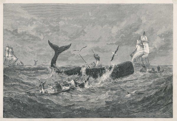 A sperm whale attacked