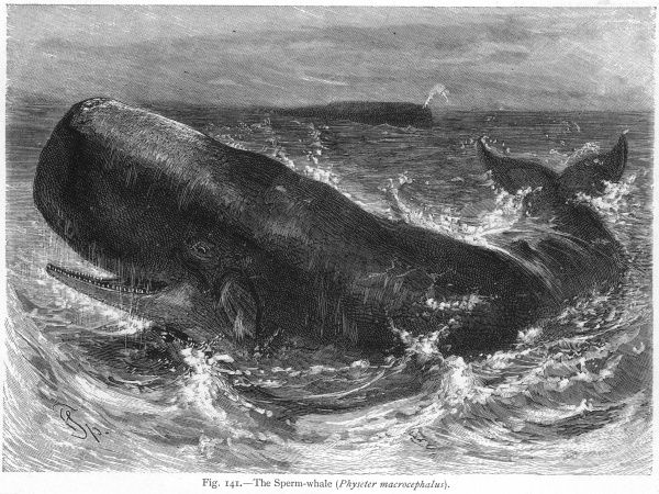 Sperm whale at sea