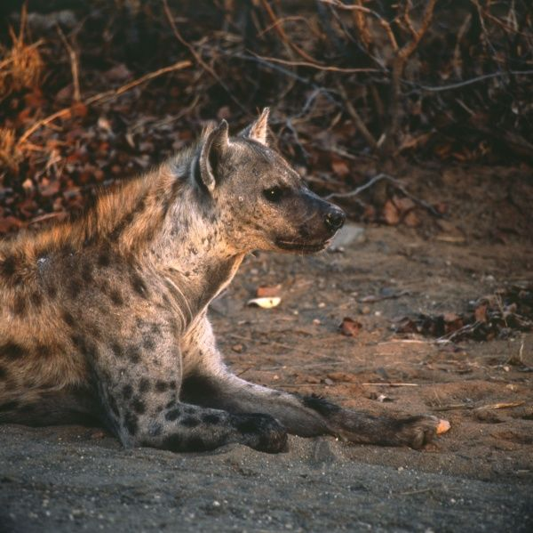 A Spotted Hyena in Letaba, Kruger National Park, South Africa. The Park is one of the largest game reserves in Africa, and contains around 2000 spotted hyenas, as well as many other wild animals