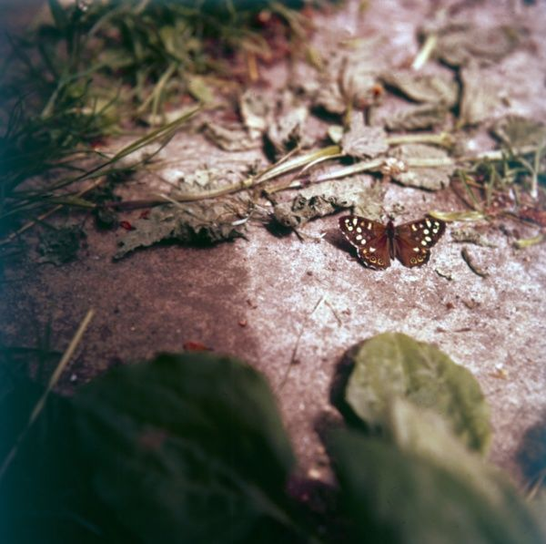A Spotted Wood butterfly. Date: 1960s
